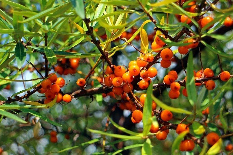 sea buckthorn fruit berries