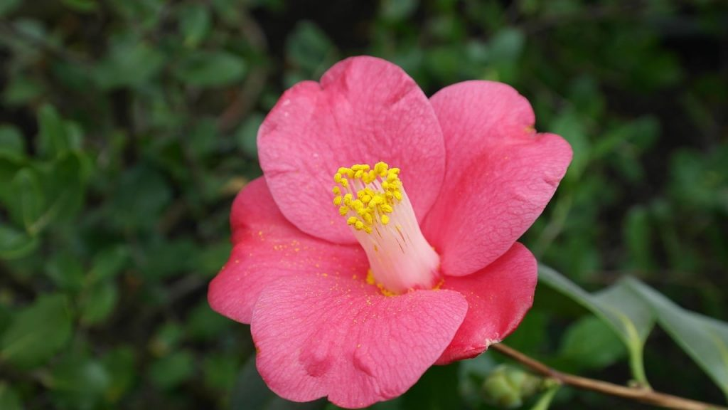 camellia japonica plant from which tsubaki oil is made